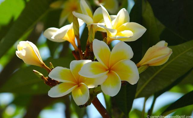 Bouquet de frangipaniers