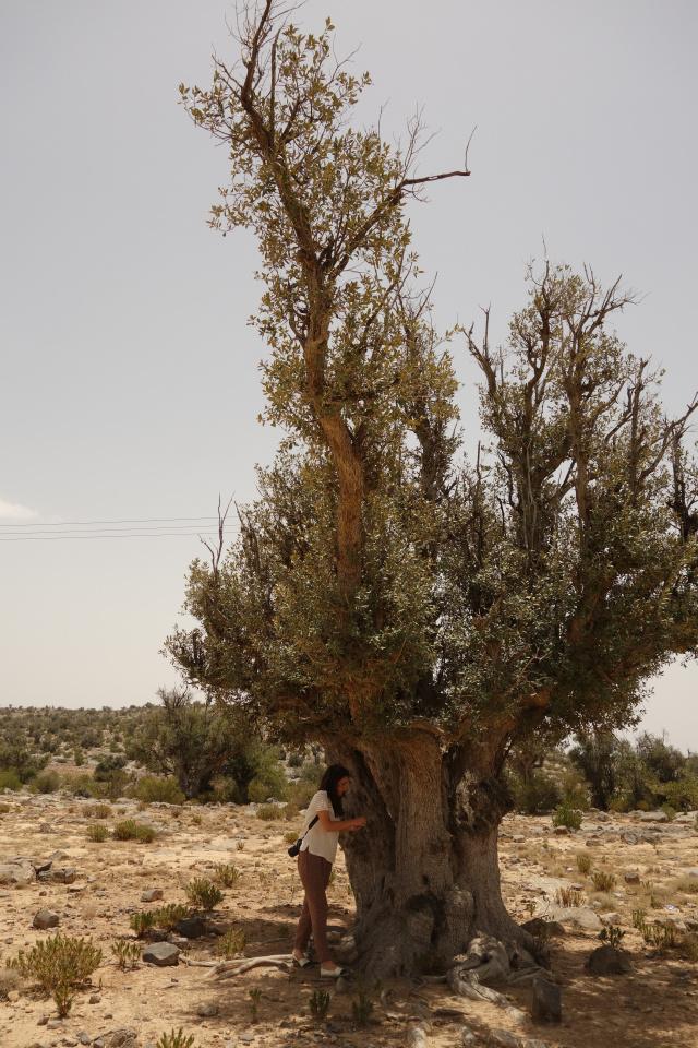 Shooting de la papeterie sur un olivier centenaire (Oman)