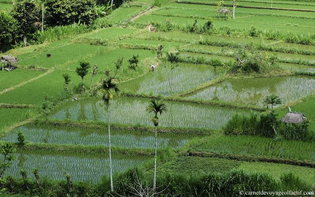 vert des rizières