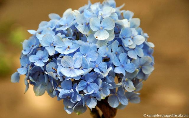 douceur florale de l'hortensia