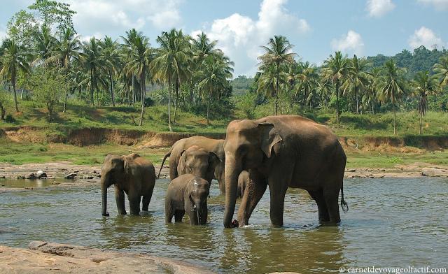 Eléphants se baignant dans la rivière
