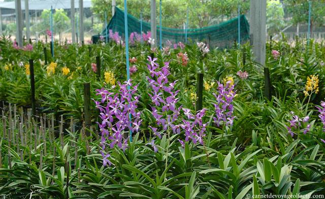 Ferme d'orchidees, Ratchaburi