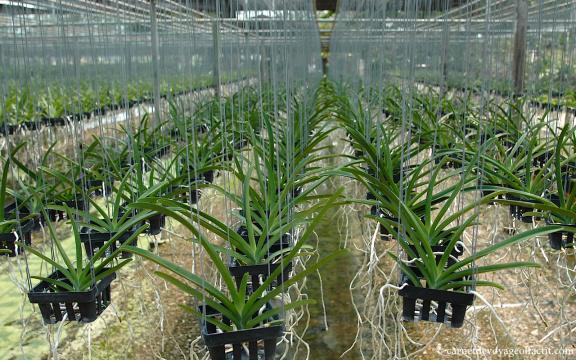 visite d une ferme d orchid es dans la r gion de. Black Bedroom Furniture Sets. Home Design Ideas