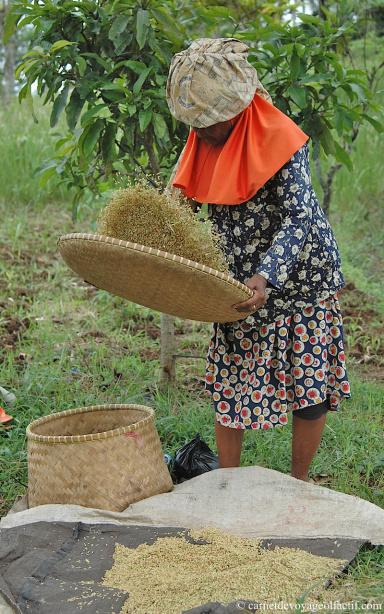 Le riz est vanne grâce a de larges plateaux de paille