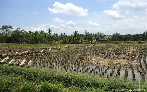 Les canards affames envahissent les rizieres recoltees