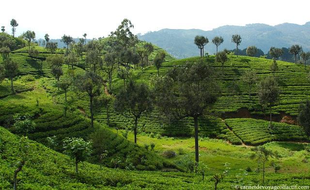 Panorama de plantations de thé au Sri lanka