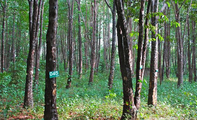 Plantation de bois de oud